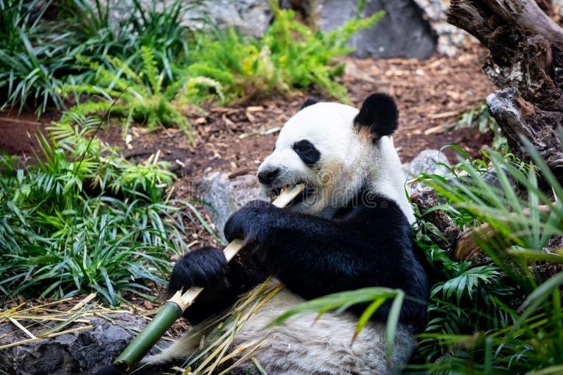 Gigantyczna panda w zoo środowisku obrazy royalty free
