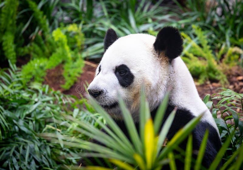 Gigantyczna panda w zoo środowisku zdjęcia stock