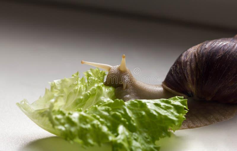 Gigantyczna tropikalna brązu ślimaczka Achatina łasowania zieleni sałata nad białym tłem ?limaczek z skorup? W górę mollusk zdjęcia royalty free