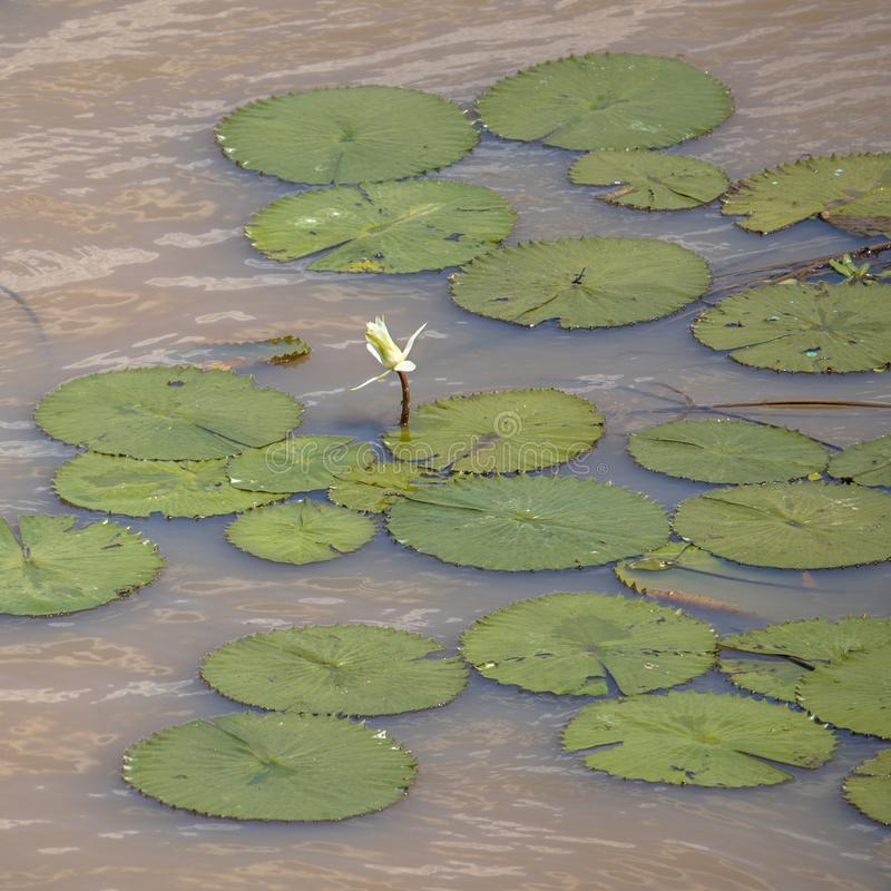 Gigantyczna wodna leluja Kruger zdjęcia royalty free