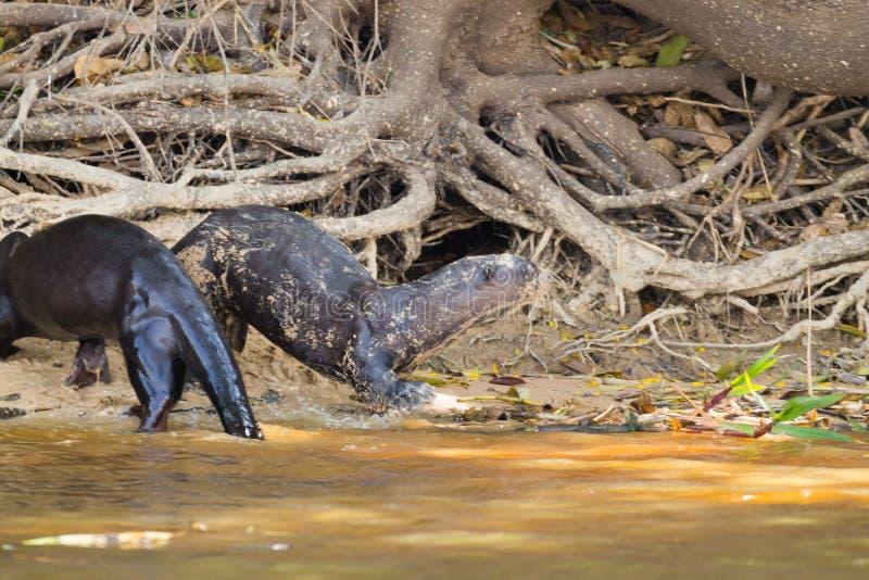 Gigantyczna wydra od Pantanal, Brazylia zdjęcie stock