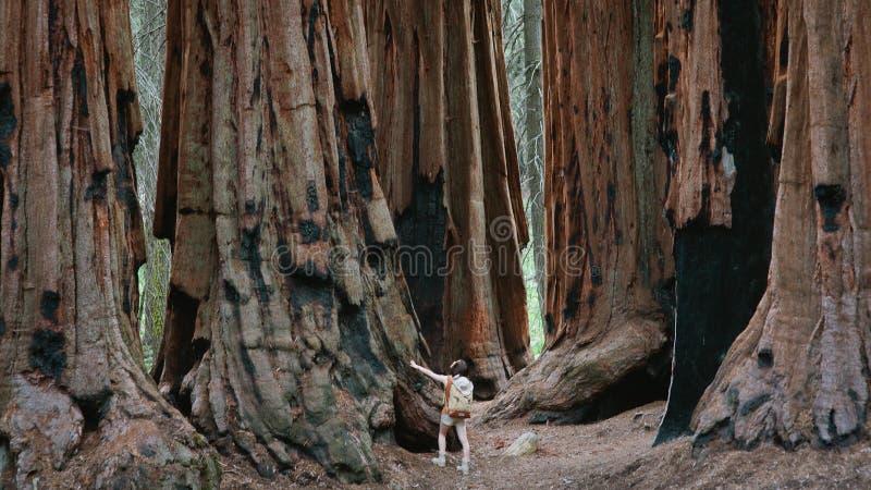 Gigantyczne sekwoje przy sekwoja parkiem narodowym fotografia royalty free