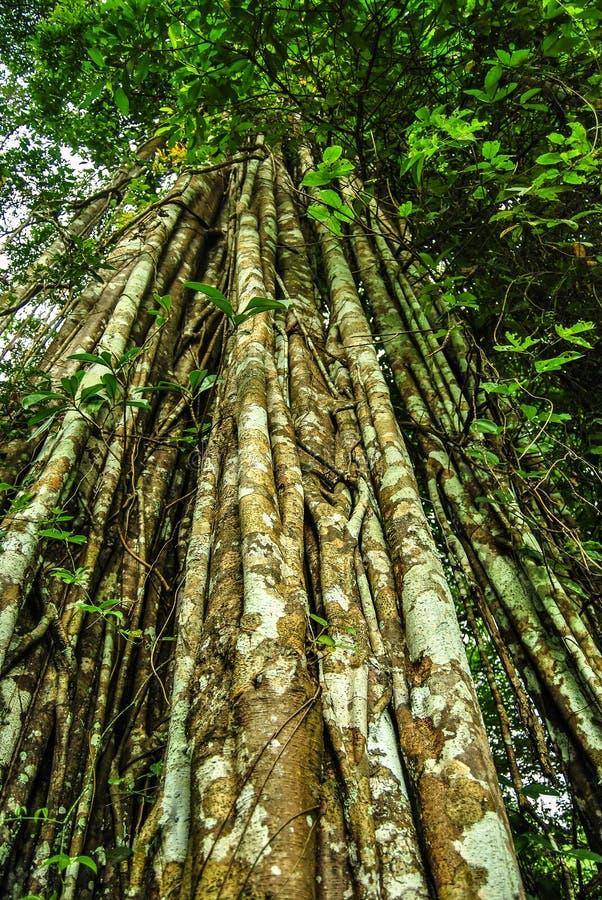 Gigantycznego banyan tropikalny drzewo zakrywający lianami i liśćmi fotografia royalty free