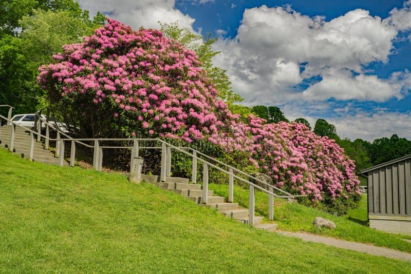 Gigantycznego Catawba Rododendronowy krzak w Pełnym kwiacie zdjęcie royalty free
