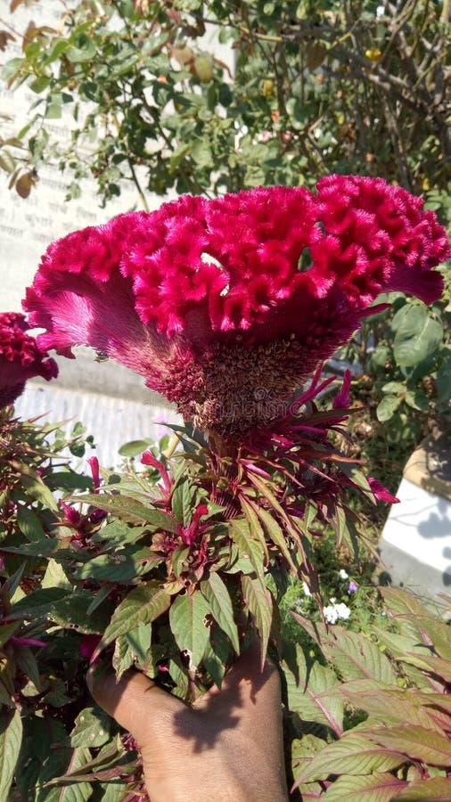 Gigantycznego Czerwonego grzebionatka kwiatu Czerwona Aksamitna celozja fotografia royalty free