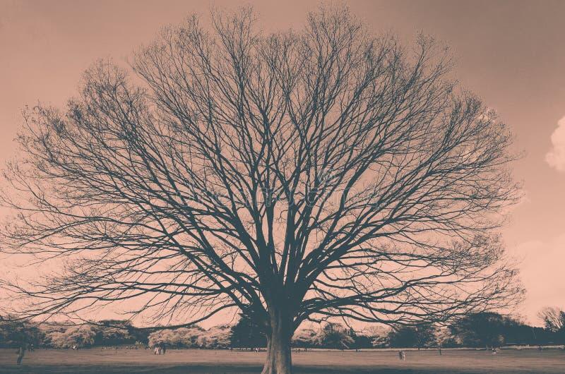 Gigantycznego keyaki Japoński zelkova behind i czereśniowi drzewa przy Showa Kinen KoenShowa Memorial Park, Tachikawa, Tokio, Jap zdjęcia stock
