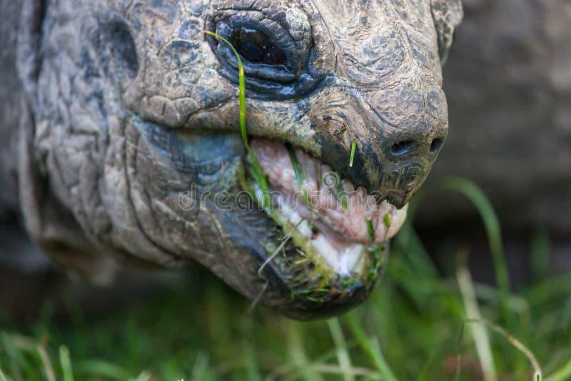 Gigantycznego Tortoise łasowania trawa fotografia royalty free