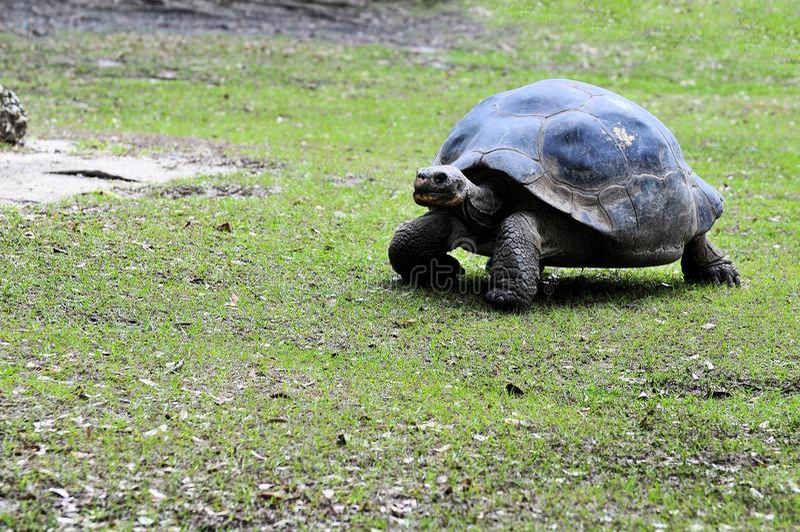 gigantycznego tortoise odprowadzenie obrazy royalty free