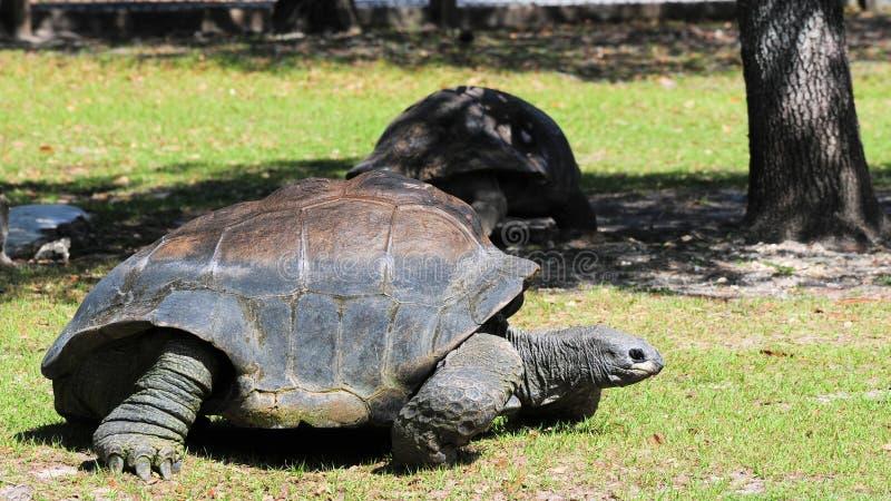 gigantycznego tortoise odprowadzenie obraz stock