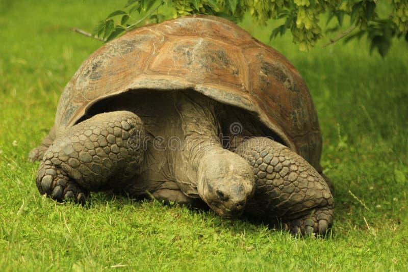 Gigantycznego tortoise pasanie przy zoo zdjęcie stock