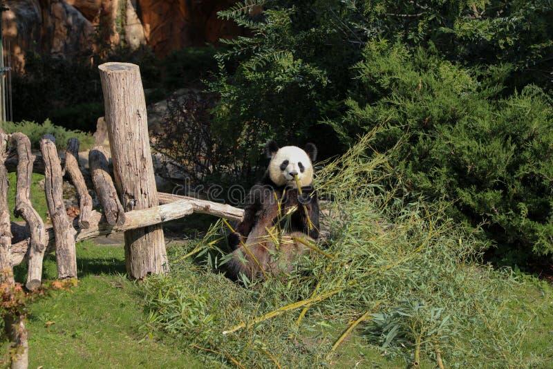 Gigantycznej pandy łasowania bambusowy lato 2019 obrazy royalty free