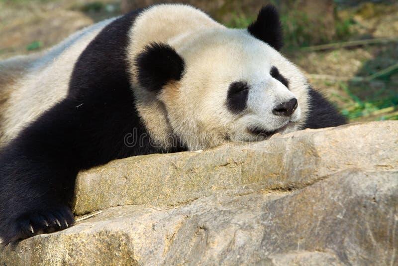gigantycznej pandy dosypianie fotografia royalty free