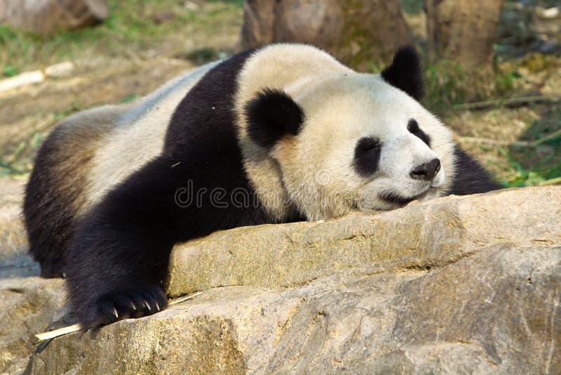 gigantycznej pandy dosypianie obrazy royalty free