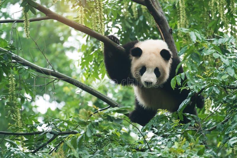 Gigantycznej pandy dziecko nad drzewem zdjęcie stock