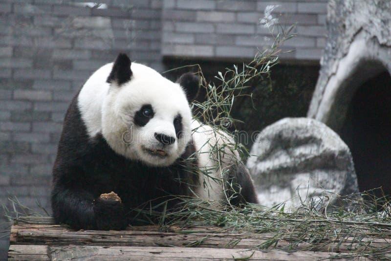 Gigantycznej pandy lisiątko w Fuzhou, Chiny obrazy royalty free