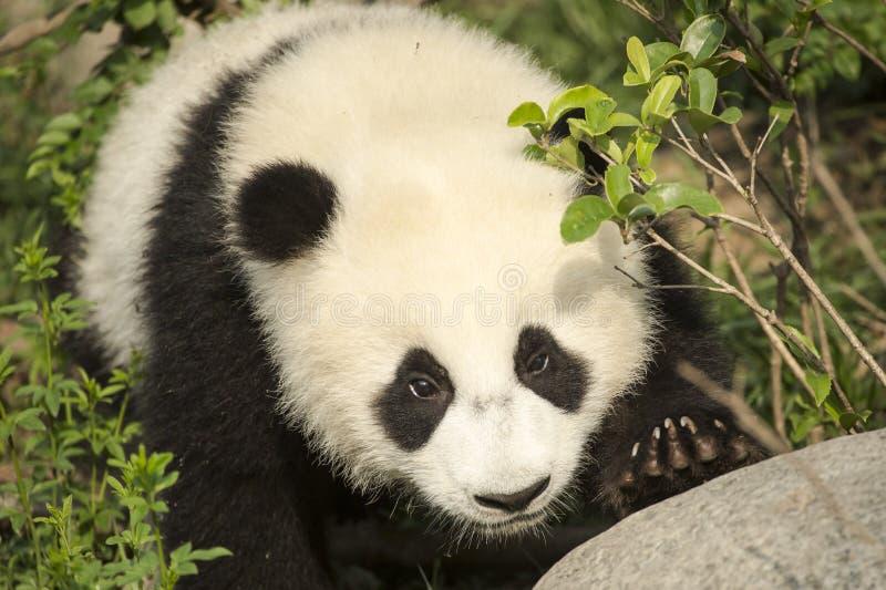 Gigantycznej pandy Niedźwiadkowego lisiątka zakończenie zbliża się skałę obraz royalty free
