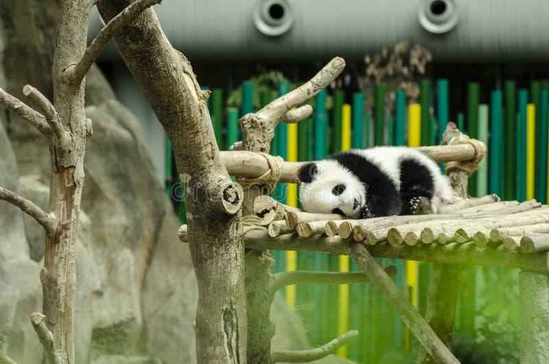 Gigantycznej pandy niedźwiedź śpi na drewnianej ławce obraz stock