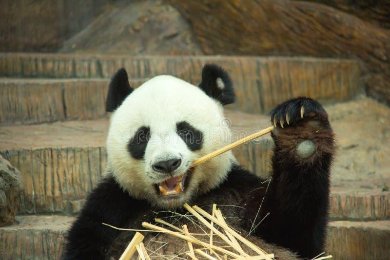Gigantycznej pandy niedźwiedź cieszy się łasowanie bambusa obraz royalty free