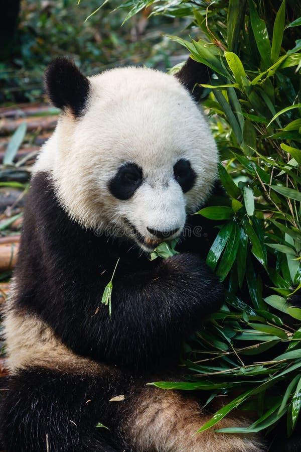 Gigantycznej pandy niedźwiedź je bambusa zdjęcia royalty free