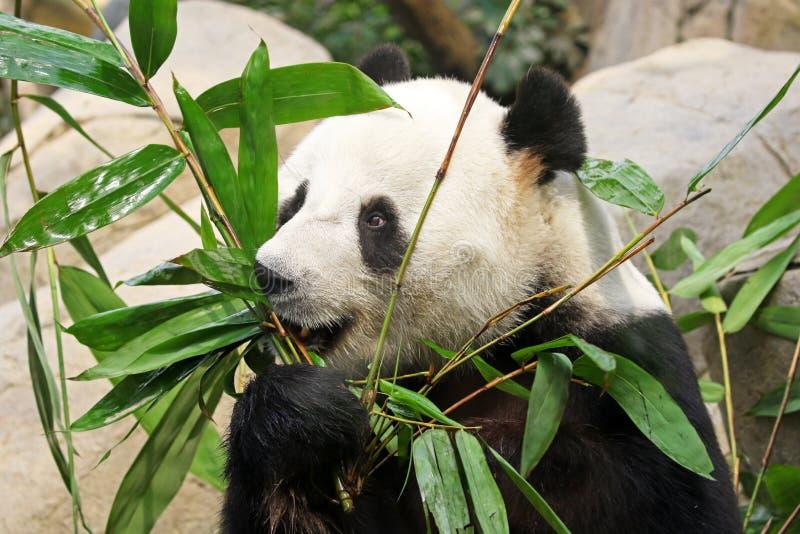 Gigantycznej pandy niedźwiedź je bambusa przy Chengdu, Chiny obrazy stock