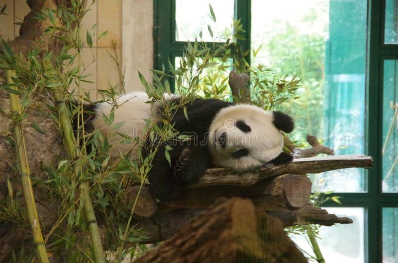 Gigantycznej pandy niedźwiedź odpoczywa inside, z bambusem zdjęcia royalty free