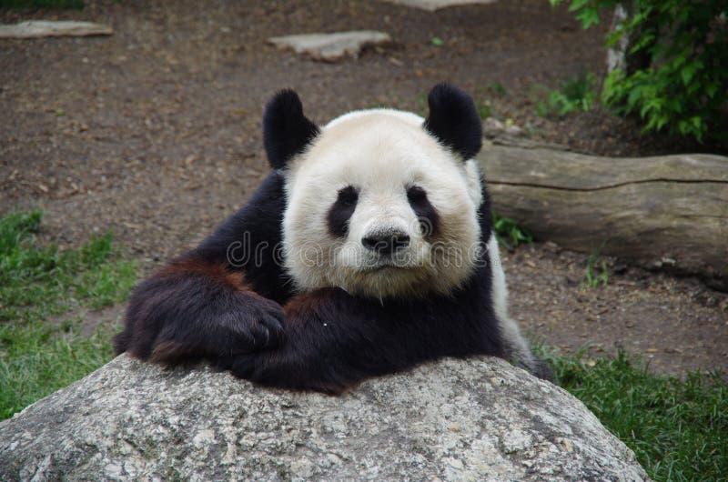 Gigantycznej pandy niedźwiedź odpoczywa na skale obrazy royalty free