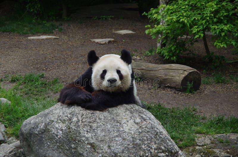 Gigantycznej pandy niedźwiedź odpoczywa na skale fotografia royalty free
