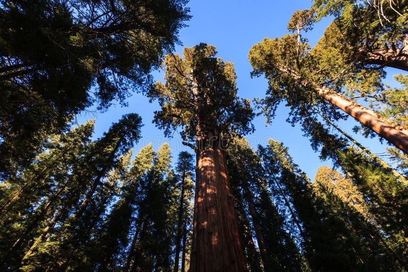 Gigantycznej sekwoi drzew bagażnika zasięg up lubi tancerzy niebo zdjęcia royalty free