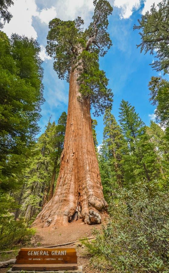 gigantycznej sekwoi drzewa zdjęcie stock