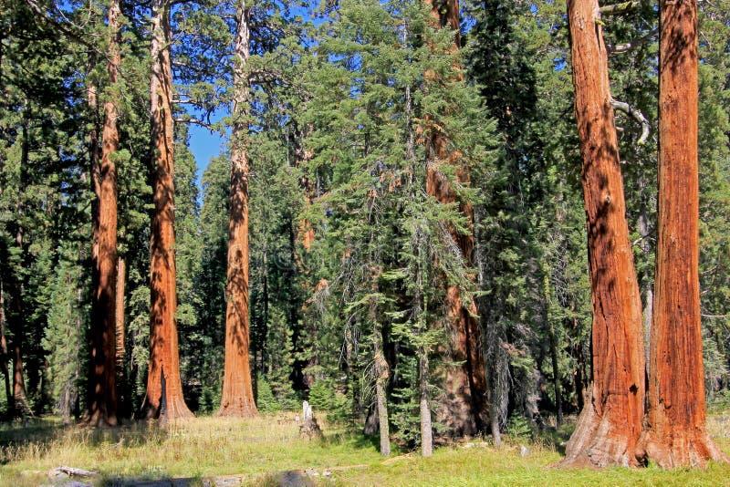 Gigantycznej sekwoi drzewa w sekwoja parku narodowym, Kalifornia zdjęcie royalty free