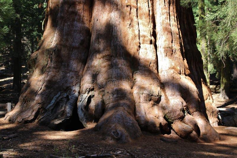 Gigantycznej sekwoi drzewa w sekwoja parku narodowym, Kalifornia zdjęcia stock