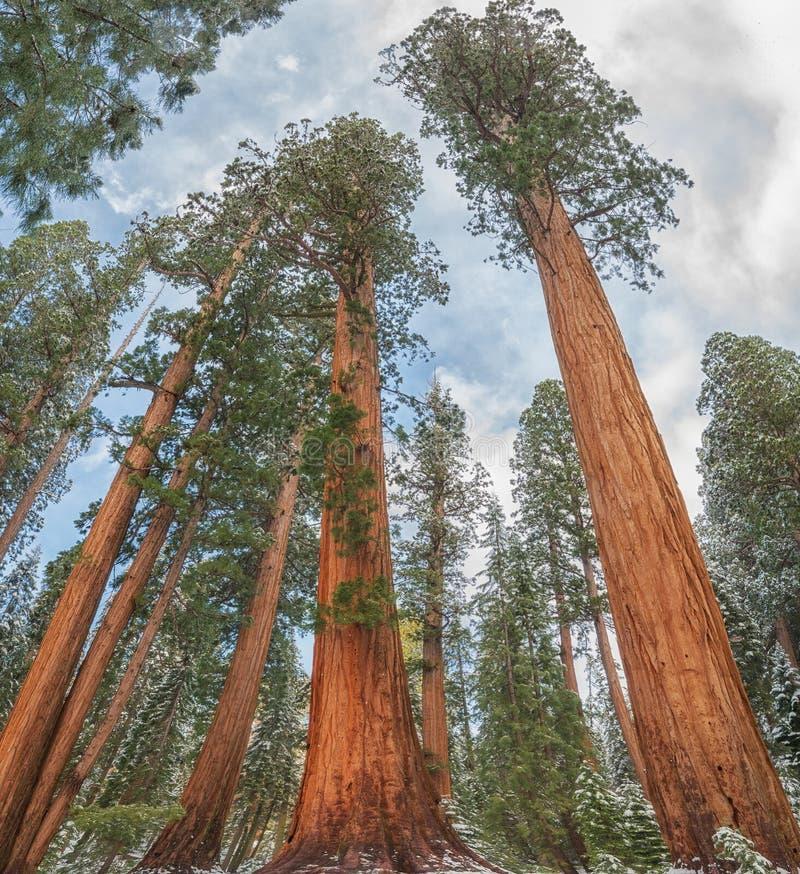 Gigantycznej sekwoi drzewa w sekwoja parku narodowym, usa obraz royalty free