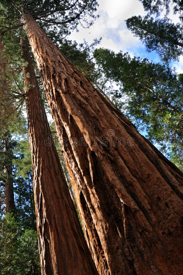 gigantycznej sekwoi drzewo obrazy royalty free