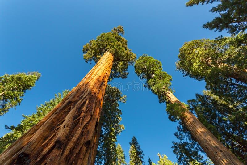 Gigantycznej sekwoi redwood drzewa z niebieskim niebem obrazy royalty free