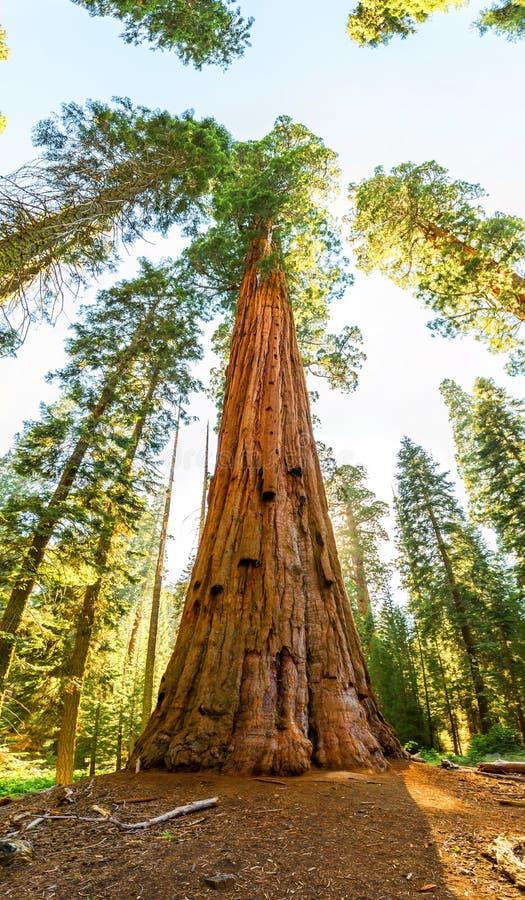 Gigantycznej sekwoi redwood drzewa z niebieskim niebem zdjęcia royalty free