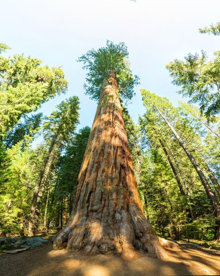 Gigantycznej sekwoi redwood drzewa z niebieskim niebem zdjęcia stock