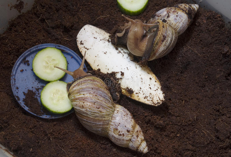 Gigantyczni Afrykańscy ślimaczki - Achatina fulica obraz stock