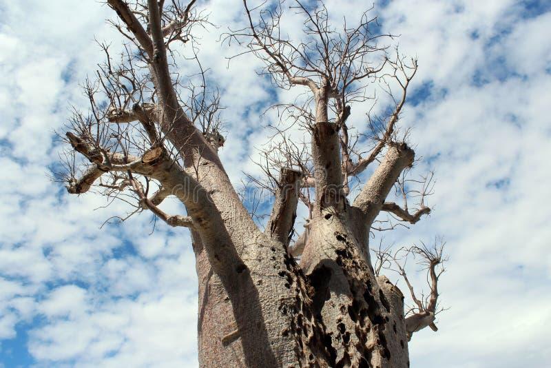 Gigantyczni Boab Drzewni królewiątka Parkowy Zachodni Australia obraz royalty free