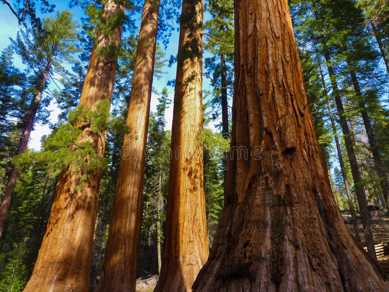 Gigantyczni drzewa w Yosemite parku narodowym, Kalifornia obrazy stock