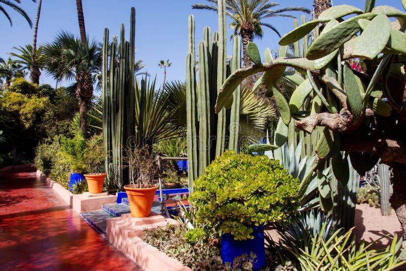 Gigantyczni kaktusy w Majorelle ogródzie zdjęcie stock