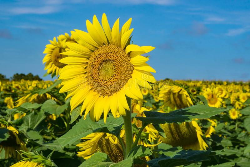 Gigantyczni słoneczniki w polu fotografia stock