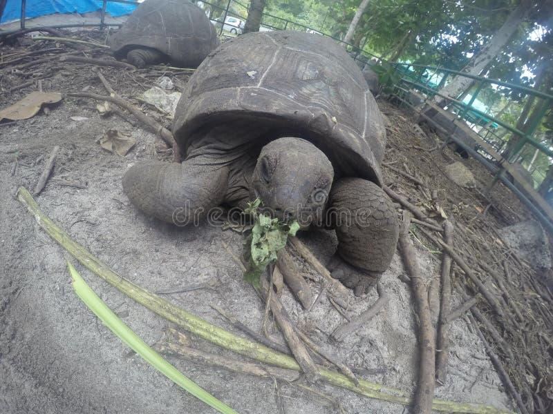 Gigantyczni tortoises karmi i pozuje w Seychelles zdjęcie royalty free