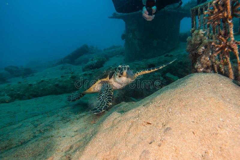 Gigantyczni Zieleni Denni żółwie w Czerwonym morzu a e obrazy stock