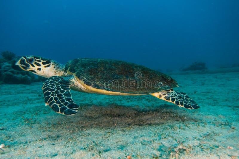 Gigantyczni Zieleni Denni żółwie w Czerwonym morzu a e obraz royalty free