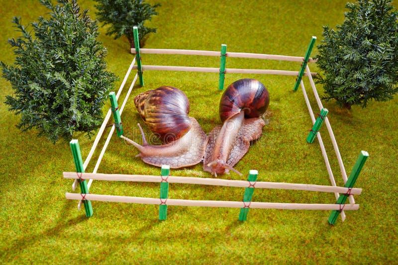 Gigantyczny Afrykański Gruntowy ślimaczek na zielonej trawie zdjęcie stock