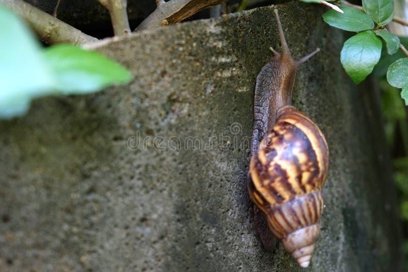 Gigantyczny Afrykański Gruntowy ślimaczek wolno wspina się na betonie wal fotografia royalty free