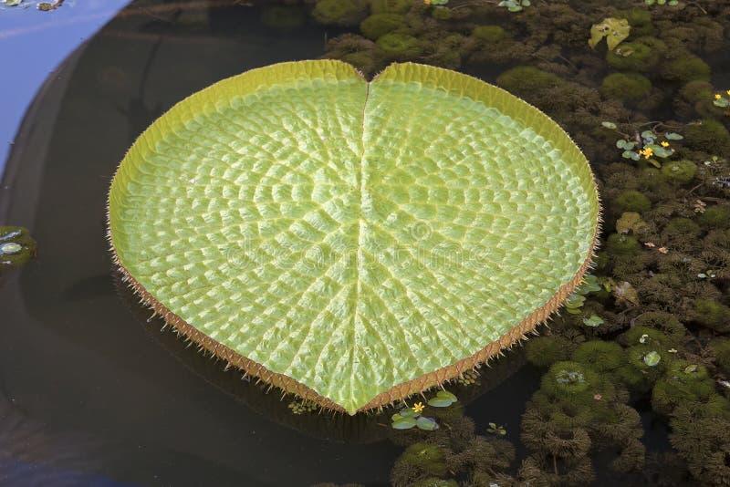 Gigantyczny Amazonian Wodnej lelui ochraniaczów zbliżenie zdjęcia stock