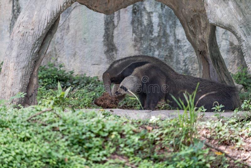 Gigantyczny Anteater Żywy W Otwartym zoo obrazy stock