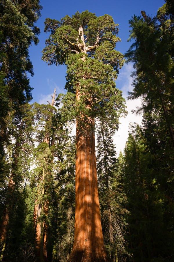Gigantyczny Antyczny Seqouia królewiątek jaru Drzewny park narodowy obrazy stock