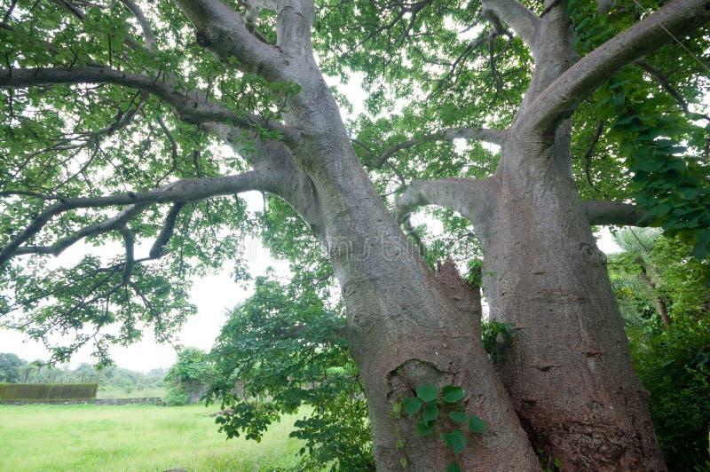 Gigantyczny baobabu drzewo blisko Vasai fortu, otaczającego ulistnieniem obrazy royalty free